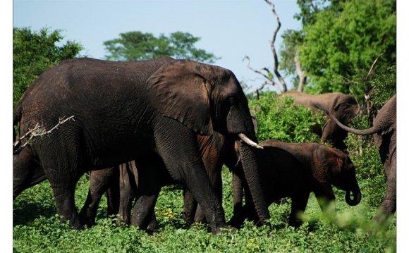 Слоны в Замбези нэшнл парк